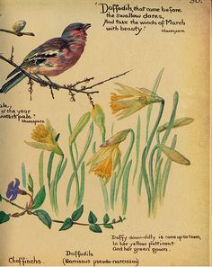 Chaffinch and daffodils - Morning Earth Artist/Naturalist Edith Holden