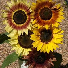 50+ Sunflower All Sorts Mix Seeds
