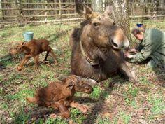 moose in russia | sanctuary in russia