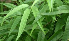 Pariri (Arrabidaea chica), planta de origem amazônica, conhecida popularmente por cipó cruz, cipó pau, carajurú, crajirú e carijurú; que é amplamente utilizada na medicina popular, por causa de suas inúmeras propriedades medicinais.