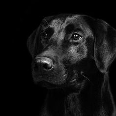 Guage by Luke Strothman Pet Dogs, Dogs And Puppies, Labrador Puppies, Doggies, Pets, Zoo Online, Black Labs Dogs, Dog Expressions, Black Labrador Retriever