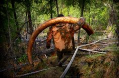 Photographer Joins Illegal Mammoth Tusk Hunt In Siberia, Captures How They Get Rich, Get Drunk And Nearly Die - http://viralbubble.com/photographer-joins-illegal-mammoth-tusk-hunt-in-siberia-captures-how-they-get-rich-get-drunk-and-nearly-die/