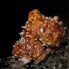 Octopus, Paradise Reef, Cozumel, Mexico