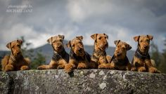 6 airedales by Michael Janz