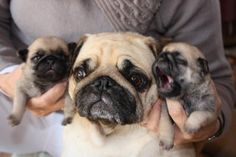 mommy pug (LOVE this posing of the pugs!)