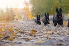 11 Distinguished Facts About the Scottish Terrier | Mental Floss