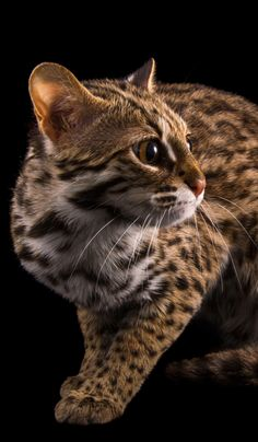 Small Wild Cats, Big Cats, Cats And Kittens, Cute Cats, Pretty Cats, Beautiful Cats, Asian Leopard Cat, Havana Brown, Here Kitty Kitty