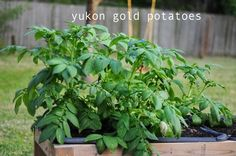 DIY garden: how to grow potatoes in your backyard. New unique method makes it fun and easy