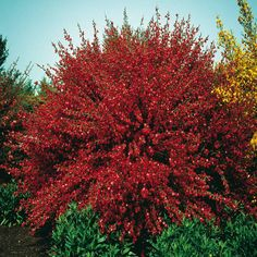 Cytisus praecox Hollandia red broom - 1 shrub Buy online order yours now Bushes And Shrubs, Flowering Shrubs, Bulb Flowers, Large Flowers, Broom Plant, Planting Plan, Tall Plants, Diy Garden Projects, Garden Styles