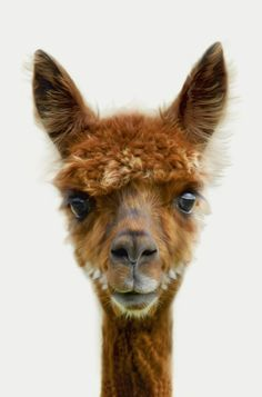 Alpacas have only been in the UK for 20 years Animals And Pets, Baby Animals, Funny Animals, Cute Animals, Wild Animals, Nature Animals, Cute Creatures, Beautiful Creatures, Animals Beautiful