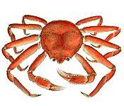 Opilio Crab