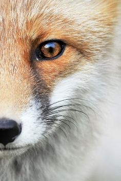 what does the fox see?