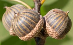 Pin Oak Tree Acorns - Pin Oak Is One Of The 12 Different Species Of Oak That Occurs Naturally At The PGT Nature Garden