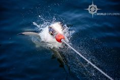 Shark Dive, Gansbaai, South Africa The Great White, Great White Shark, Shark Diving, Ecommerce Hosting, Places Ive Been, South Africa, Style, Swag