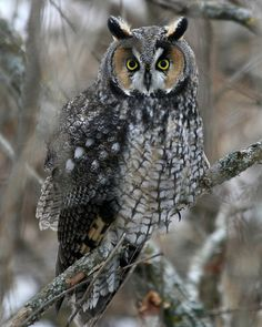 Long eared owl  Listed as rare in Florida