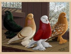 Tumblers and performance flyers in Pigeon Art by Gary Romig Kinds Of Birds, All Birds, Cute Birds, Pretty Birds, Beautiful Birds, Pigeon Pictures, Bird Pictures, Exotic Birds, Colorful Birds
