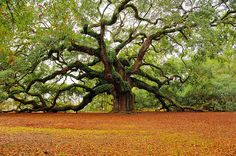 Ancient Tree of Life, an Angel Oak is a southern live oak tree located in Angel Oak Park, in Charleston, South Carolina on Johns Island, one of South Carolinas Sea Islands.  It is estimated to be over 1400 years old, standing 65 feet tall.