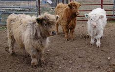 You can own a mini fluffy cow and they make super awesome pets! There are mini cow breeders all over the United States, so getting one is quite easy! Miniature Highland Cattle, Scottish Highland Cow, Mini Highland Cow, Highland Cow For Sale, Scottish Highlands, Cow Photos, Cow Pictures, Zoo Animals, Funny Animals