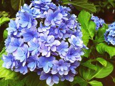 神戸市立森林植物園の紫陽花|naturliv(ナチュリブ)のスタッフブログ
