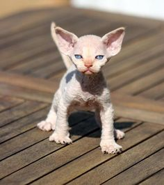 male red point - this is one creepy looking cat!  It looks like it was made up to be in a Harry Potter movie!