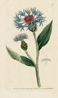 Centaurea montana. Greater Blue-bottle. from William Curtis Botanical Magazine 1st Edition Prints Vol 1-6 1787