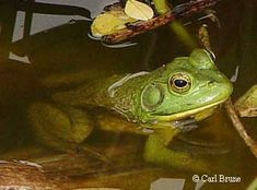 The Bullfrog's snout-vent length ranges from 9 to 15 cm (3.5 to 6 inches).  Its back and sides are some shade of green or brown and occasionally there are some darker blotches or spots on the back.  The belly is off-white and the chest is mottled with gray.  The skin is smooth and slimy.  There are no dorsolateral folds along the frog's back.  Instead, a ridge on each side of the head curves around the tympanic membrane from behind the eye.