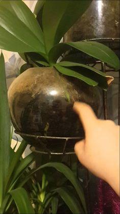 Как я выращиваю орхидеи