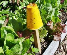 Home-Made Aphid Trap, Just use an upside down YELLOW Solo Cup pinned to a wood stake & cover the Yellow Cup with a thin layer of Vaseline. Aphids are Drawn to the Yellow Color thinking its Food, Stick to the Cup & Die. It takes very little time to Make but will save your Plants from Aphid Damage.