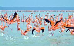 Conocido como la Reserva de la Biósfera Ría Celestún, hogar de miles de flamencos rosados.