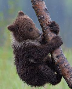 Alaskan Coastal Grizzly Bear Cub, Not Knowing Quite What to do Next. (by Marc Latremouille).