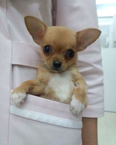 2,319 Likes, 27 Comments - Chihuahua (@chihuahuastagrams) on Instagram