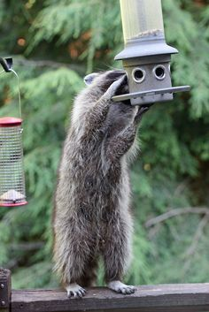 Smart raccoon eating all the sunflower seeds | by nhpanda (always trying to catch up....)