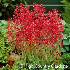 """Heuchera sanguinea 'Firefly' Coral Bells - 18"""" x 15"""" wide, Heuchera is a western wildflower that has been bred and improved to give us one of our most popular garden perennials. The bright red flowers are held high on long thin wands over the tidy mounds of scalloped foliage. Heavy blooming in well-drained, compost enriched soil, flowering is prolonged by deadheading of faded flowering spikes. Best in part sun and shade in hot climates. Water regularly for the best show of flowers. Zones…"""