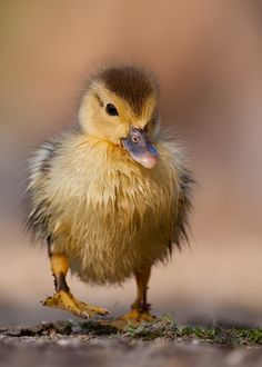 Duck by Robert Adamec... A cute Ducky for my cute K.!❤️