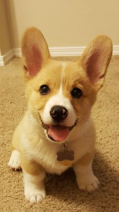 The Queens corgis — That's one happy little pup at...