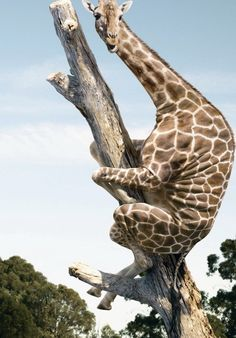 #giraffe,  #Africa, #pinsland, https://apps.facebook.com/yangutu/, https://itunes.apple.com/us/app/yangutu-dating-for-40+/id508760385