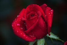 A Rose For You! by Kirt Wilson on Capture Arkansas // I hope you have a great and enjoyable day!
