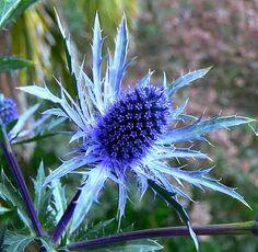 Eryngium planum Blue Sea Holly 25 seeds deer proof by SmartSeeds