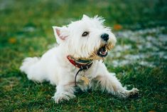 Essential info and fun facts about the West Highland White Terrier, a breed better known as the Westie. Terrier Breeds, Terrier Dogs, Terrier Mix, Terriers, Chihuahua Dogs, Pet Dogs, Pets, Diarrhea In Dogs, Shelter Dogs
