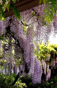 A #wisteria curtain is our dream view from a #rustic cottage.