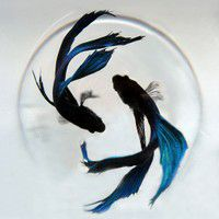 Two blue goldfish blue goldfish fish