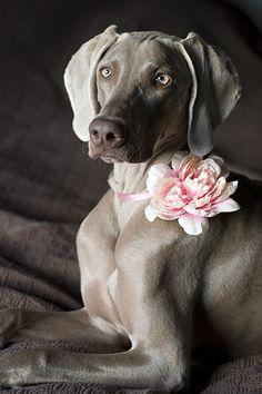 A Weimaraner beauty   #pretty #dogs #Weimaraner