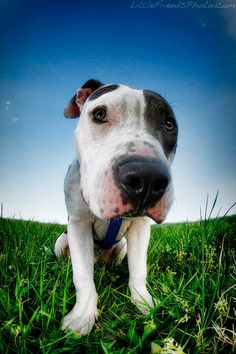 A sweet Pit Bull pup from LittleFriendsPhoto.com