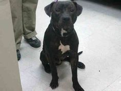 TO BE DESTROYED - 03/22/15 Brooklyn Center -P My name is MAX. My Animal ID # is A1030375. I am a male bl brindle and white pit bull mix. The shelter thinks I am about 2 YEARS I came in the shelter as a OWNER SUR on 03/15/2015 from NY 11213, owner surrender reason stated was PERS PROB