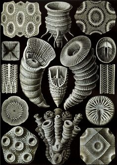 Art - Haeckel - Microscopic - Haeckel_Tetracoralla