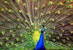It is believed that Hera transferred the eyes of Argus to the tail of the peacock so she could keep an eye on her unfaithful husband.