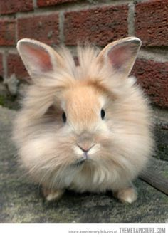 Lionhead Bunny. I will own one of these!