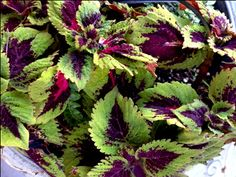 Coleus is a shade-lover for the garden