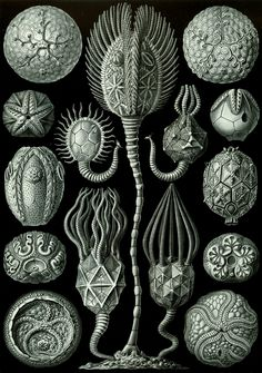Ernst Haeckel – Art Forms of Nature: Cystoidea