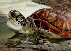Cayman Island Sea Turtle